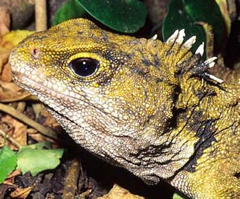 Tuatara - The Lizard that Isn't | Animal Pictures and